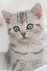 Concentration (Martin Bärtges) Tags: flauschig weich blackandwhite black stripes getigert inside drin nikonphotography nikonfotografie d2h nikon kitten katze augen eyes cat