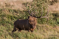 IMG_8311  bull elk (starc283) Tags: starc283 flickr flicker forest flora rut rocky mountains mountain national elk bull nature natures finest watcher naturewatcher naturesfinest rockymountainnationalforest