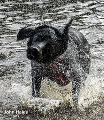 Poppy Learns to Swim! (John_Hales) Tags: dog lab labrador aviemore lockinsh highlands scotland