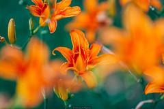 Orange field (Nicola Pezzoli) Tags: italy italia lombardia val seriana bergamo leffe gandino nature natura flowers flower fiore fiori bokeh field ceride cerida