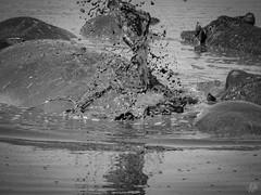 SPRAY! (eliewolfphotography) Tags: hippopotamus hippo bnw bnwanimals animals africa african wildlife wildlifephotographer wildlifephotography nature naturelovers nikon naturephotography natgeo naturephotographer conservation conservationphotography travel tanzania safari serengeti serengetinationalpark safariphotography