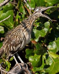 Greater Roadrunner (Lindell Dillon) Tags: greaterroadrunner cuckoo bird birding nature oklahoma wildoklahoma crosstimbers