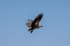 Flying Vulture (HansenBenHansen) Tags: sony sonyalpha7iii sonya7iii a7iii a7 alpha7iii alpha7 sony⍺7markiii ⍺7iii ⍺7 sony⍺7 sonyalpha7 ilce7 emount fullframe 7iii ⍺7markiii ilce7iii sony⍺7iii ilce vollformat africa afrika sambia zambia southluangwanp nationalpark wildlife luangwa sony100400gmoss geier vulture