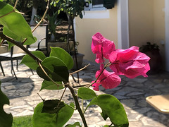 Bougainvillea Flowers (RobW_) Tags: bougainvillea flowers tsilivi zakynthos greece monday 09sep2019 september 2019