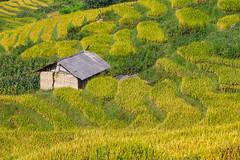 _Y2U4241.0919.Ngải Thầu.Bát Xát.Lào Cai (hoanglongphoto) Tags: asia asian vietnam northvietnam northernvietnam northwestvietnam landscape scenery vietnamlandscape vietnamscenery terraces terracedfields terracedfieldsinvietnam harvest seasonharvest house one 1house canon canoneos1dx canonef70200mmf28lisiiusm đôngbắc làocai bátxát ngảithầu phongcảnh ruộngbậcthang ruộngbậcthangngảithầu lúachín mùagặt ngảithầumùalúachín ngảithầumùagặt ngôinhà 1ngôinhà