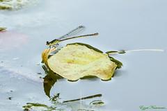 Mon radeau à moi (Ezzo33) Tags: france gironde nouvelleaquitaine bordeaux ezzo33 nammour ezzat sony rx10m3 parc jardin insecte insectes specanimal libellule dragonfly agrion