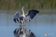 Grey Heron (Simon Stobart) Tags: grey heron ardea cinerea north east england uk water landing