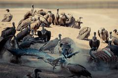Eating Envy 5 (HansenBenHansen) Tags: sony sonyalpha7iii sonya7iii a7iii a7 alpha7iii alpha7 sony⍺7markiii ⍺7iii ⍺7 sony⍺7 sonyalpha7 ilce7 emount fullframe 7iii ⍺7markiii ilce7iii sony⍺7iii ilce vollformat africa afrika sambia zambia southluangwanp nationalpark wildlife luangwa sony100400gmoss geier vulture hyäne hyena