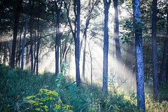 forest sunbeam (Yuki (8-ballmabelleamie)) Tags: lakecountyforestpreserves morning mist misty dew trees woods bushes prairie grasses wildflowers outdoor weather beautiful dreamy dreamscape canoneos60d