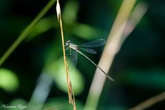 Leste vert (Ezzo33) Tags: france gironde nouvelleaquitaine bordeaux ezzo33 nammour ezzat sony rx10m3 parc jardin insecte insectes specanimal libellule dragonfly leste