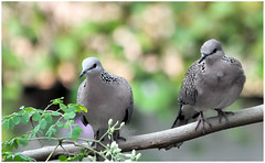 """""""Love does not consist in gazing at each other, but in looking outward together in the same direction."""" _ Antoine de Saint-Exupery (Ramalakshmi Rajan) Tags: spotteddove birds inmygarden nikond5000 nikon nikkor70300mm quotes"""