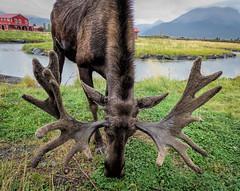 Bull Moose Antlers (in explore) (Lee J2) Tags: bullmoose antlers alaska girdwood wildlife conservationcenter alcesalcesgigas