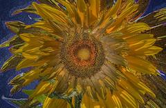 Sunflower (art shot) (Michael F. Nyiri) Tags: photocomposite arty artwork flower sunflower lacountyfair