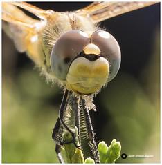 Caballito del Diablo (javiblue25) Tags: libã©lula insecto caballitodeldiablo dragonfly butterfly farfalla nature natura macro macrophotography naturephotography flowers flowerphotography macroflowers bokeh nikon tamron d500 nikond500 nikonistas libélula