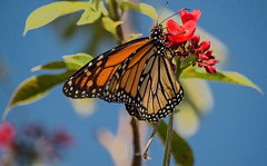 Monarch Colors (ACEZandEIGHTZ) Tags: macro nature colors closeup butterfly wings bright bokeh winged monarchbutterfly flyinginsect nikond3200 danausplexippus flowers red jatrophatree coth5 coth alittlebeauty sunrays5