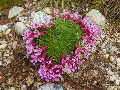 Mountain flowers (herbraab) Tags: outdoor flowers mountainside mountain mallnitz obervellach carinthia hohetauern hiking trekking canoneos550d tamronspaf1750mmf28 grass stones