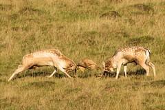 Fallow deer bucks rutting. (ejwwest) Tags: