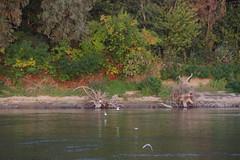 IMGP6813 (Alvier) Tags: rumänien donau donaudelta natur vögel fluss strom delta schiff schifffahrt donaufahrt