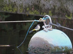 Busy grey wagtail (Phil Gayton) Tags: water bird grey wagtail motacillacinerea buoy mill tail river dart totnes devon uk