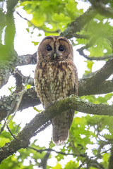 Reminder of Spring (Adam_Walters) Tags: tawny owl spring green eyes close up