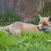 Fox deep in the grass