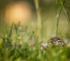I Spy With My Little Eye. (Kathy Macpherson Baca) Tags: owl burrowing raptor world earth dig mice planet ave preserve bokeh