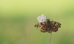Un papillon peut en cacher un autre... (passionpapillon) Tags: macro papillon butterfly nature bokeh color passionpapillon 2019