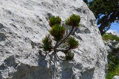 Giovane pino