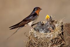 Barn Swallow Nest (www.studebakerstudio.com) Tags: barn swallow nest barnswallow babies chicks feeding bird nature
