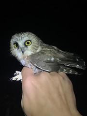 Northern Saw-whet Owl - Pedder Bay, Metchosin BC