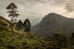 TIerras del té - Tea lands (Ana Isabel Iranzo) Tags: 2016 sri lanka trees mountains canon ana isabel iranzo