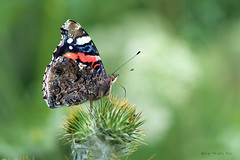 Vanessa atalanta (Linnaeus, 1758) (ajmtster) Tags: macrofotografía macro insectos invertebrados mariposas lepidopteros nymphalidae ninfalidos vanessaatalanta vanessa atalanta vulcana numerada almirante butterfly butterflies papillon farfalle amt
