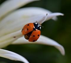 Ladybug (rlt64) Tags: bugs insects ladybug nature