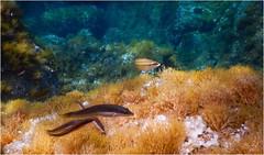 Plongee Porto Pollo DSCN1345 (michele.muno) Tags: corse corsica portopollo plongée mer sea underwater poisson fish