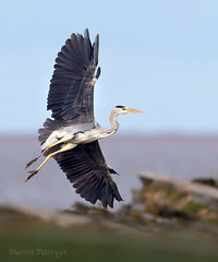 Grey Heron coming to fish on the reef -2468 (martinpettinger) Tags: gillie suit reef long wait sea breeze grey heron crows tide rock pool planning dog walkers frighten arrived