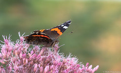 Amiraali (Vanessa atalanta), Red Admiral (NI5A1131LR-2) (pohjoma) Tags: amiraali hyönteinen hyönteiset perhonen päiväperhonen vanessaatalanta redadmiral canoneos5dmarkiv finland canonef100mmf28lmacroisusm nature wildlife insect butterfly wings lepidoptera macro