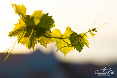 Grape leaves (Theo Crazzolara) Tags: grape leaves leaf wine vinothek sunrise sunset romance romantic nature natural city lisboa portugal europe green weinrebe rebe wein business portwine portwein