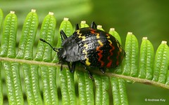 Zigzag fungus beetle, Erotylus incomparabilis (In Memoriam: Ecuador Megadiverso) Tags: andreaskay beetle coleoptera ecuador erotylidae erotylusincomparabilis focusstack fungusbeetle pleasingfungusbeetle zigzagfungusbeetle