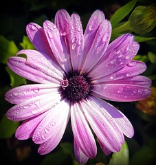 Morning droplets (Ioannis Ks) Tags: osteospermum flower droplets nature crete plant autumn garden