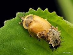 Tortoise beetle (In Memoriam: Ecuador Megadiverso) Tags: andreaskay beetle coleoptera ecuador focusstack tortoisebeetle