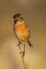 Stonechat (Dec Roche) Tags: birds stonechat wildlife wexford nature nikon nikon300mmf4 nikond7200 tc14eii teleconverter southeastireland repofireland