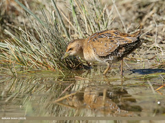 Baillon's Crake (Porzana pusilla) (gilgit2) Tags: avifauna baillonscrakeporzanapusilla birds borit canon canoneos7dmarkii category fauna feathers geotagged gilgitbaltistan gojal imranshah location nature ornithology pakistan species tags tamron tamronsp150600mmf563divcusd wildlife wings gilgit2 porzanapusilla