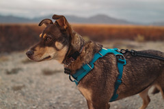 Stella (M///S///H) Tags: rx1 dog fullframe harness leash mirrorless mountains pointandshoot puppy sony sonyrx1 stella