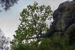 Hangover (Tony Tooth) Tags: nikon d600 nikkor 50mm f18g tree overhang rock hencloud upperhulme staffs staffordshire staffordshiremoorlands