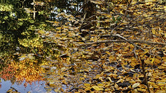 Leafs in the Pond (rainerpetersen657) Tags: autumn pond leafs park water sony sonyalpha color nature 85mm reflection