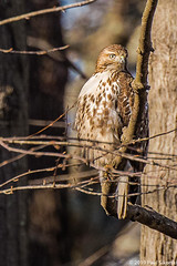Red-tailed Hawk in Tree (Paul Sikorski) Tags: buteojamaicensis hawklikebirds redtailedhawk avian bird birdinitshabitat birdintree birdofprey birdsintheirhabitat branch daily ettner hawk hawklikebird hawks naturalhabitat raptor redtailedhawkonbranch redtailedhawkontreebranch tree treebranch treebranches trees wild wildlife winter