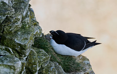 Sleepy Razorbill (JerryGoulet) Tags: razorbills colors birds wild outside tree green foliage highiso animals d500 sigma infinitexposure uk cambridgeshire lights dark conservancy exposure england angle wildnerness nature light lowlight midlands contemporary young male spring outdoors wildlife individuality portraits volunteer zoom telephoto summer conservationism naturereserve female bird color animal face feathers sigma150600 colour lowangle experience faces juvenile colours out water pond pool unitedkingdom paxtonpitsnaturereserve excellence xtreme closeup contrast cute conservation beak eye british greatbritain lake nikon natural bemptoncliffs