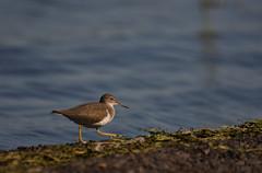 Chevalier grivelé / Spotted Sanpiper (rcomard3) Tags: spotted sanpiper grivelé chevalier bird oiseau