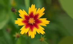 Coreopsis 2019/09/25 02 (Jim Dollar) Tags: jimdollar canon5div coreopsis flowers indianland southcarolina