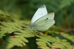 Butterfly (Håkan Jylhä (Thanks for +1000000 views)) Tags: närbild closeup close vit white kålfjäril kolfjäril fjäll butterfly rx10iv sony jylhä håkan